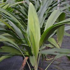 Palm grass Curculigo capitulata live growning in 1 gal 1-1/2-3 ft