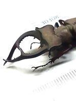 Beetle, stag beetles, 30308, Lucanidae sp. from Vietnam