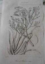 Gravure 1838 Nouvelle Zeeland Plante de Phormium tenax