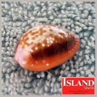 Gem! Cypraea Helvola argella #2) 21.1mm CHOICE BEAUTY from Madagascar