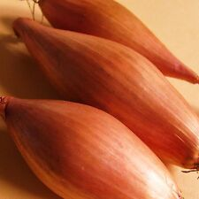 ONION SHALLOT - ZEBRUNE - 800 Seeds [The BANANA Shallot <Chef's First Choice>]