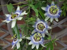 "Passiflora ""caerulea"" (BLUE PASSION FLOWER)(10+ Seeds)Health Fruit, Exotic Plant"