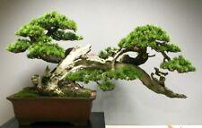 Árbol de abeto español, exótico árbol grande, Ideal Para Bonsai! Semillas Frescas