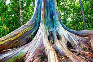 40 Rainbow Eucalyptus (E. deglupta) Gum Tree Seeds  FREE SHIPPING * USA SELLER *