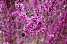 20 KAY'S EARLY HOPE CHINESE REDBUD SEEDS - Cercis chinensis