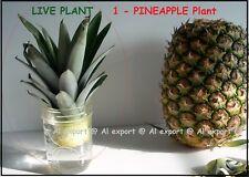LIVE - SWEET  PINEAPPLE - 1 Plant TOP-[ Ananas comosus] ORGANIC -100% GERMINATE