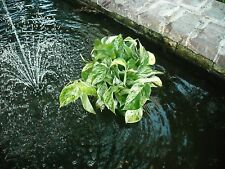 """8"""" Floating Basket for Pond plants with anchor string"""