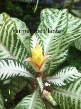 "APHELANDRA ZEBRA - SNOW WHITE - FLOWERING PLANT - LIVE PLANT - 4"" POTS - 1 PLANT"