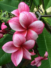 """Rooted Plumeria Agave Rare Real PLANT Seedlings Plants """"Thai Firecracker"""""""