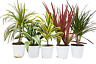 """5 Different Dracaenas Variety Pack - Live House Plant - FREE Care Guide - 4"""" Pot"""
