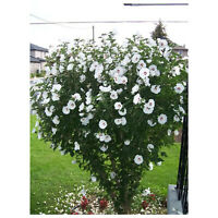 Rose of Sharon - White Althea - Flowering Shrub - 1 Plant in Gallon Pot