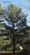 Loblolly Pine Tree - Pinus Taeda - 10 Seeds - Fast growing evergreen!
