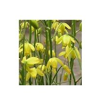 Albuca shawii / Bulbous plant with scented flowers in summer / 10 Seeds