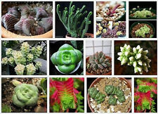 Crassula Mix 10 SEEDS  * Exotic Cute Rare succulent *  CombSH C42