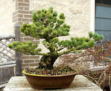 Bonsai Tree Specimen Five Needle Japanese White Pine Fnpst-110J