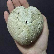 #7 Big Heart Sea Urchin Shell Spatangus Purpureus Echinodermata natural specimen