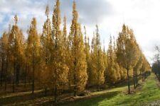 Carpinus Frans Fontaine, Fastigiate Upright Hornbeam tree, pot grown peat free
