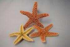 """Sugar StarFish Sea Shell Wedding Real Craft 3"""" - 4"""" (3 pcs)"""