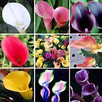 100pcs Calla-Lilien-Samen Bonsai Home Garten seltene Blumen Pflanze Schöne