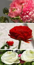 winterharte Ranunkel Blumenzwiebeln schnellwüchsige exotische Pflanzen Garten