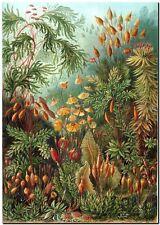 "ERNST HAECKEL CANVAS PRINT Art Nouveau Vintage Botany 18""X 12"" Muscinae"