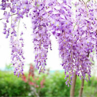 Purple Wisteria Flower Seeds Perennial Climbing Plant Bonsai Home Garden