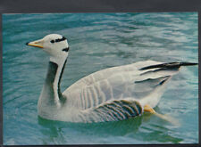 Animals Postcard - Birds - Bar-Headed Goose  RR1793