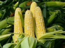 Peaches And Cream Sweet Corn Vegetable Seeds 20 Ct NON-GMO USA FREE SHIPPING