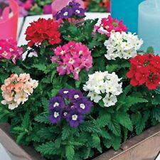 100Pcs Verbena Flower Seeds Rare 5 Colors Perennial Bonsai Garden Plant