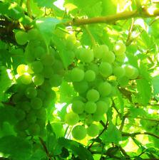 Bulk Seed 50 Mixed Grape Seeds Delicious Fresh Fruit For Garden Home Seeds S019