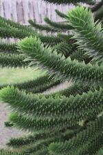 """Rare Exotic Monkey Puzzle Tree - Araucaria araucana - 2""""x4"""" Pot - Indoors/Out"""