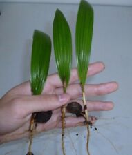 5 PINDO Jelly Palm SEEDLINGS Tropical Tree House Plant Butia capitata