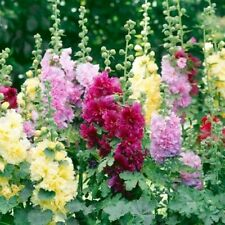50+  SUMMER CARNIVAL MIX, HOLLYHOCKS, ALCEA ROSEA, 4 FOOT PERENNIAL FLOWER SEEDS