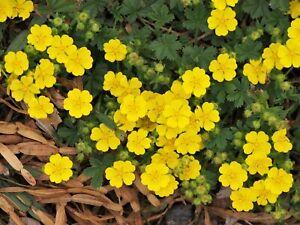 Potentilla Neumanniana 'Spring Cinquefoil' -Hardy Alpine Perennial Plant 9cm Pot