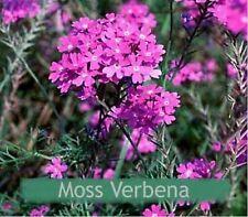 Moss Verbena (Verbena Tenuisecta)- 200 seeds