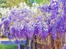 10 Purple Chinese Wisteria Seeds - Wisteria sinensis