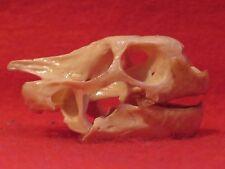 Real Bone Skull Yellow Foot Turtle Taxidermy Reptile animal biology
