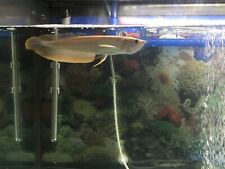 New listing Silver arowana Live Fish Healthy 6-7 Inches Overnight Shipping 1 Day