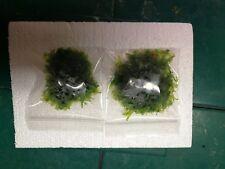 Subwassertang and monosolenium tenerum-Pelia, live aquarium plant, Two 4x4 bags