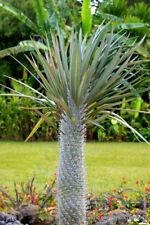 Pachypodium Geayi rare madagascar tree palm succulent cacti cactus 5 seeds