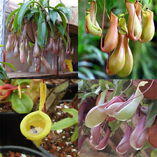 20Pcs Pitcher Plant Seeds Purpurea Foliage Carnivorous Shades Flower Seed Garden