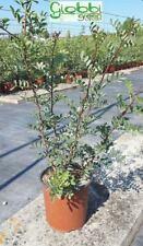 Pistacia Lentisco 40/80cm vaso 17 (OFFERTA 25 piante)