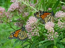35 RARE Woodson Swamp Milkweed seeds  Perfect for gardens! Save the Monarch!!