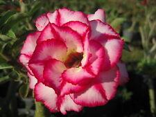 """Adenium Obesum Desert Rose """"Aura"""" 100 Seeds"""