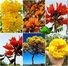 *UNCLE CHAN* MIX SEED FLOWER TREE TABEBUIA CARAIBA TREE AFRICAN TULIP TECOMA