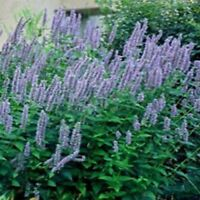 Hyssop- Anise-Agastache Foeniculum-    100 Seeds-