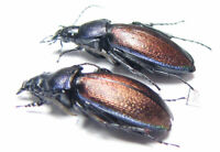 Carabidae, Carabus (Morphocarabus) regalis jenissoni, pair, Russia, Siberia