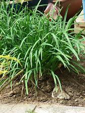 SCHNITTKNOBLAUCH 50 Samen Allium Tuberosum Knoblauch