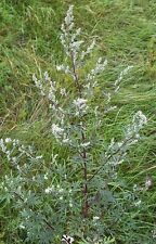 "Artemisia Artemisia vulgaris 250 semi esotici ""tutto solo 1 EURO"""
