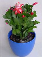 SCHLUMBERGERA zygocactus Christmas Cactus de Navidad planta 3 x Esqueje